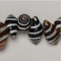 Zebra frog shell(12x8mm), App. 16